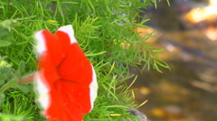Red flower and stream Stock Footage
