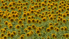 Sunflower field swaying in the wind Stock Footage