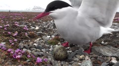 Arctic tern - Bird on the nest in natural habitat - Arctic, Spitsbergen - stock footage