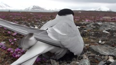 Wild bird in the nest, laying an egg, Arctic, Spitsbergen - very unique Stock Footage