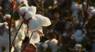 Stock Video Footage of Cotton Produce