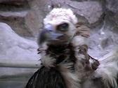 Griffon Vulture preening. Stock Footage