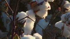 Cotton Field Yield Stock Footage
