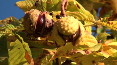 Horse chestnut Stock Footage