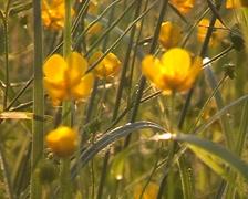 Ranunculus. Stock Footage