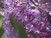 Lilac lilac. Stock Footage