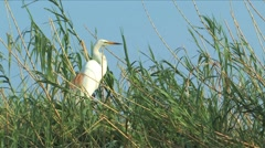Yellow-billed Egret Stock Footage