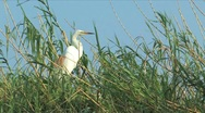 Stock Video Footage of Yellow-billed Egret