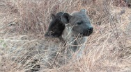 Kruger Hyena & pup Stock Footage