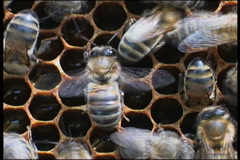 Bee, a close up Stock Footage