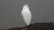 Egret fluffy feathers Stock Footage