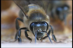 Bee, a close up - stock footage