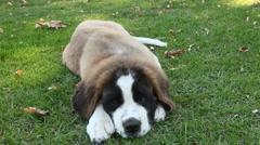 Playful Saint Bernard Puppy in the Grass Stock Footage