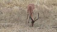 Kruger Springbok Stock Footage