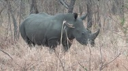 Kruger White Rhino Stock Footage