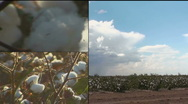 Cotton Growing Montage Stock Footage