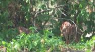 Kruger Kudu Stock Footage