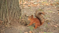 Squirrel with walnut - stock footage