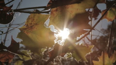 Fall Leaves Blowing in the Wind Stock Footage