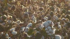 Cotton Spiderwebs Stock Footage