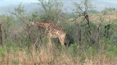 Giraffe in Hluhluwe Game Reserve Stock Footage
