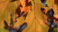 Autumn leaves macro close up Stock Footage