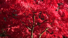 Japanese red acer tree Stock Footage