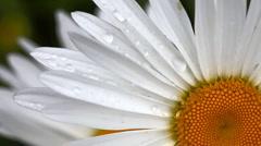 Daisy petals with raindrops. Stock Footage