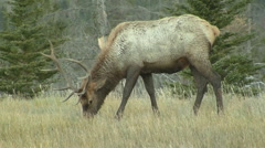 Bull Elk Grazing near National Park - stock footage