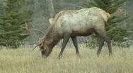 Stock Video Footage of Bull Elk Grazing near National Park