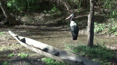 Saddlebill Stork Stock Footage