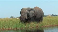 Elephants Okavango Delta, Botswana - stock footage