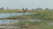 Stock Video Footage of African Fish Eagle in the Okavango Delta, Botswana