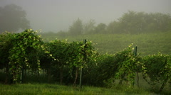 Vineyard - stock footage