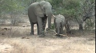 Stock Video Footage of Elephants in Kruger National Park South Africa