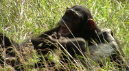 Chimpanzee playing P2 Stock Footage