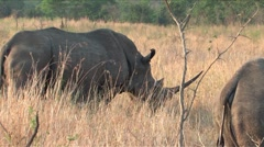 White Rhino in  Hluhluwe Game Reserve, South Africa Stock Footage