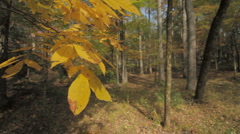Golden autmun leaves Stock Footage
