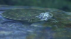 Turtle reptile  - stock footage