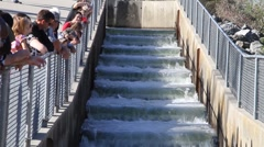Salmon ,fish ladder Stock Footage