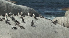 African Penguins or Jackass Penguins Stock Footage