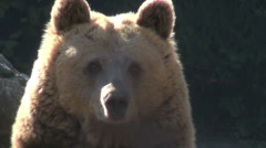 The brown bear rest in nature, mountains, trees - stock footage
