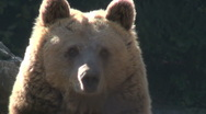Stock Video Footage of The brown bear rest in nature, mountains, trees