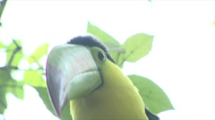 TOUCAN Stock Footage