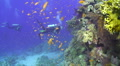 Vibrant coral reef with scuba divers in the background Footage