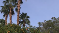 Palm Springs Orange Tree, Coachella Valley, California Stock Footage