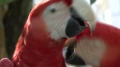 Macaw Cuple - stock footage