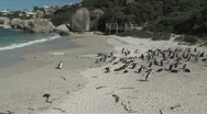 Stock Video Footage of African Penguins or Jackass Penguins