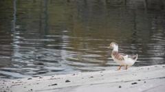 Sweet ducks swimming in the lake Stock Footage
