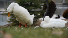White duck 3 Stock Footage